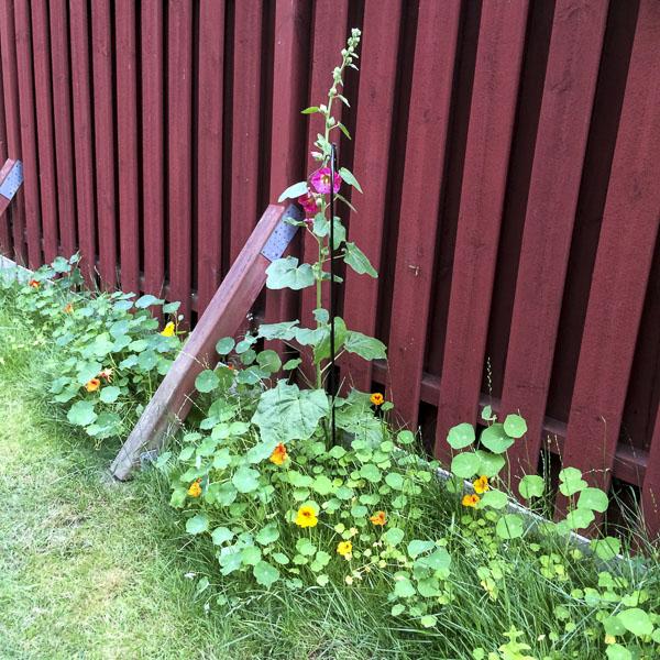 hollyhock, nasturtium, garden, greenery