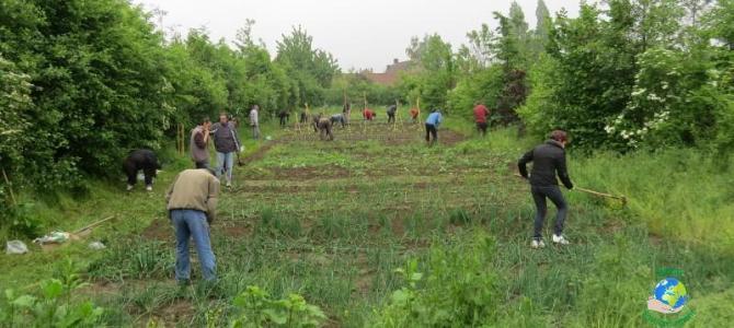 Les poireaux au jardin