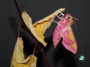 Nocturne Papillon