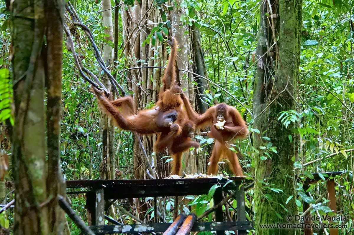orangutans eating at a feeding station in tanjung puting