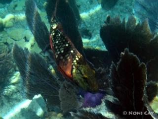 DSC00515 Parrotfish in Marine Sanctuary
