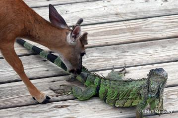 IMG_1727 Key Deer and Iguana