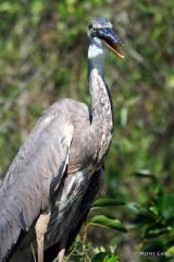 IMG_2186 Great Blue Heron #1