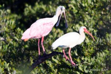 IMG_5430 Roseate Spoonbill and Ibis