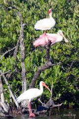 IMG_5452 Ibis and Roseate Spoonbill in Tree