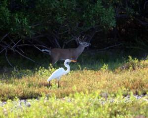 Key Buck and Great Egret