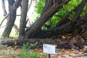 Mayo Tree