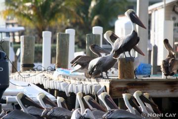 No Name Key Pelicans