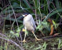 black crowned night heron half scale