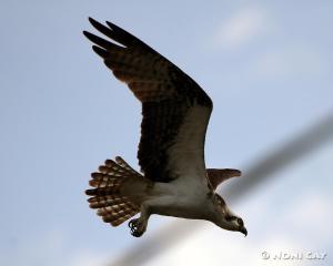 IMG_3208osprey Osprey in Flight