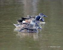 IMG_3616 Blue-winged Teal