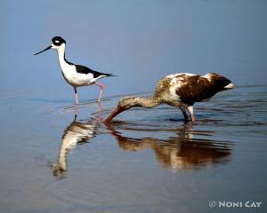 IMG_3880birds Black-necked Stilt and Ibis