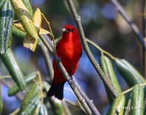 IMG_4723Summer Tanager