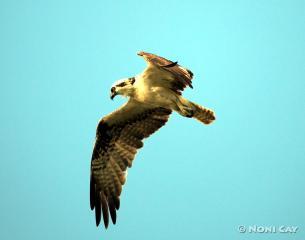 IMG_4874osprey The Sea Eagle in Flight