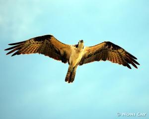 IMG_6112Osprey Sea Eagle