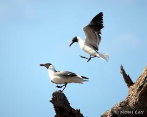IMG_6129LaughingGulls Laughing Gulls Mating