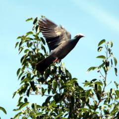 IMG_7231White-Crowned Pigeon