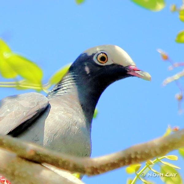 The White-crowned Pigeon