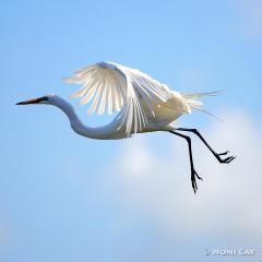 IMG_7747Egret Great White Egret