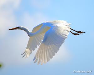 IMG_7748EgretinFlight Great White Egret in Flight