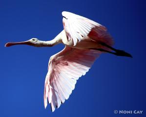IMG_7766Spoonbill Roseate Spoonbill in Flight