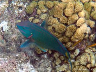 DSC02004parrotfish