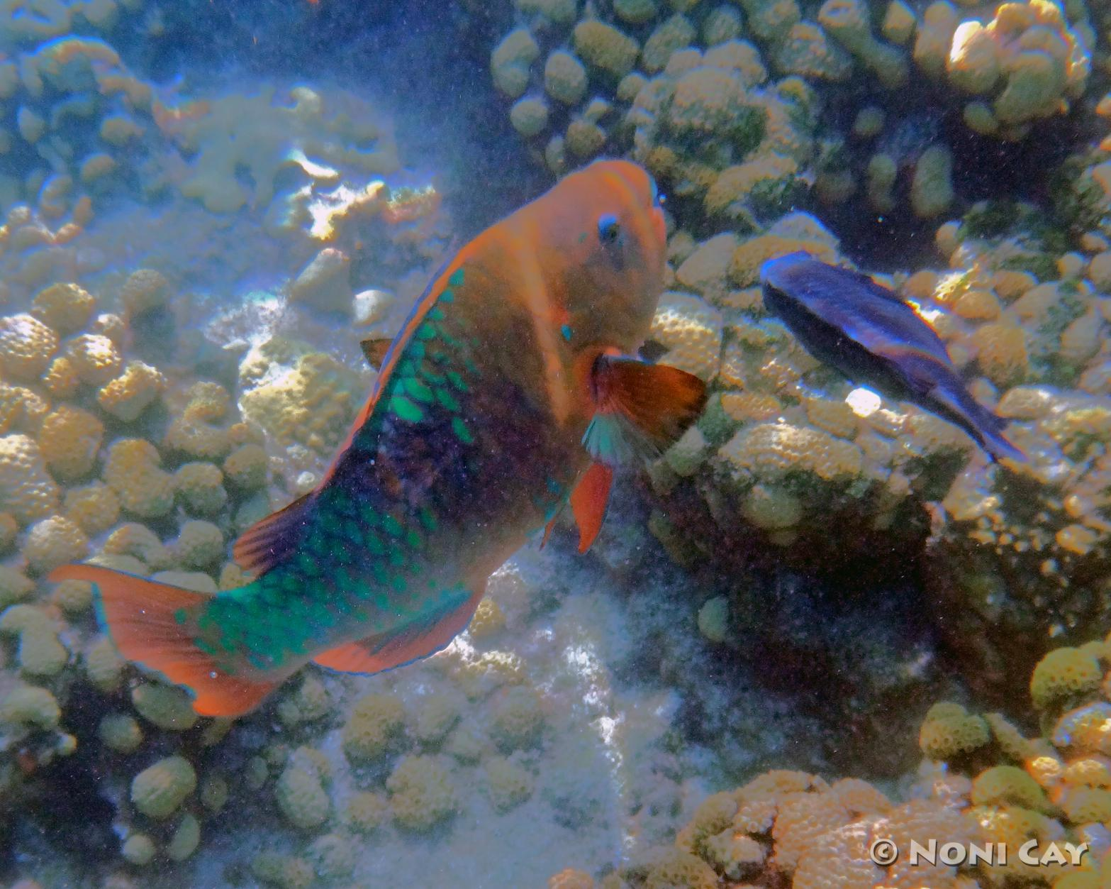 Parrotfish noni cay photography for Rainbow parrot fish