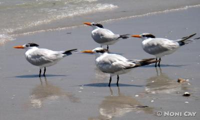 DSC02888RoyalTerns Royal Terns