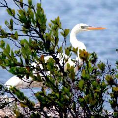 IMG_8083GreatWhiteHeron Great White Heron