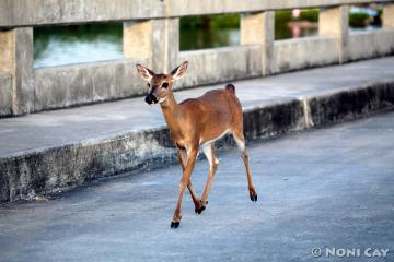 IMG_8194deer crossing bridge