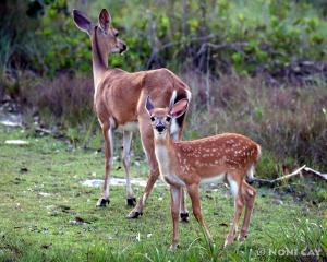 IMG_8677doeand fawn
