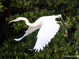 IMG_0328GreatWhiteinFlight Great White Heron