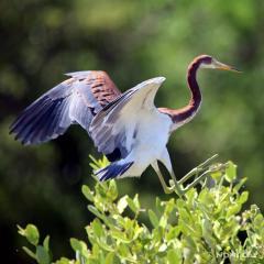 IMG_9740TricoloredHeronLanding Tricolored Heron
