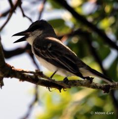 IMG_9965Loggerhead Shrike