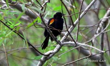 IMG_2210Red-wingedBlackbird