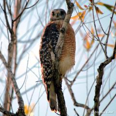 IMG_4739ImmaturePeregrineFalcon Peregrine Falcon Immature