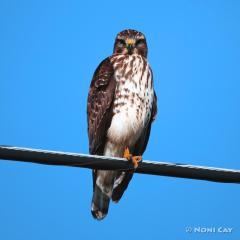 IMG_5199ImmatureRed-shoulderedHawk Red-shouldered Hawk