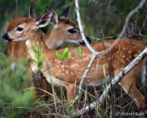 IMG_1221Fawns