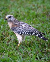 IMG_0617ImmatureRed-shoulderedHawk