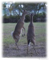 DeerStandingTall