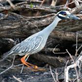 IMG_9041Yellow-crowned Night-Heron
