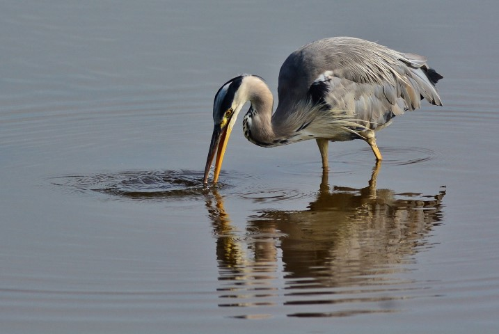 Grey Heron   Norfolk Wildlife Trust
