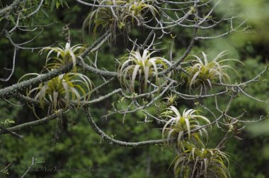 Bromeliads make their home in the high tree tops of the dry forest.