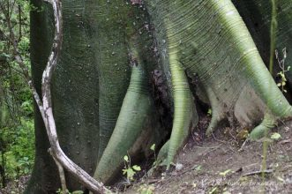 A close-up of the Ceiba tree roots.