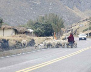 Shepherd near Chimborazo