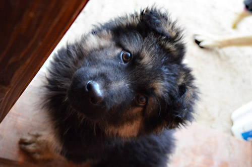 German Shepherd puppy named Bear
