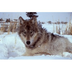 Small Crop Of Wolf Names Female
