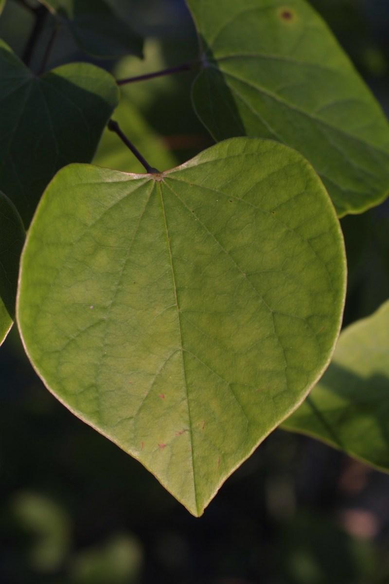 Large Of Redbud Tree Leaves
