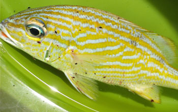 Photo of a Caribbean fish known as the French grunt that is infested with gnathiids.