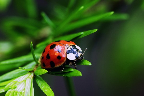 Ladybugs are the ultimate pest fighters for an organic garden.